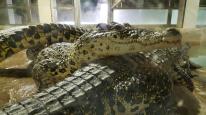 Protivín - krokodýlí ZOO